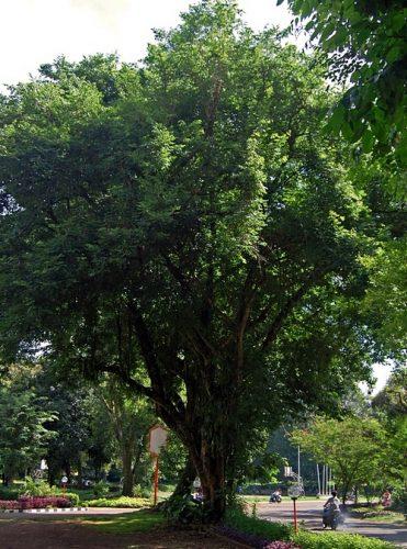 Lem kayu dan lem hpl Crona - upload.wikimedia.org Dalbe latif 081228 4907 H ipb e1605797516570